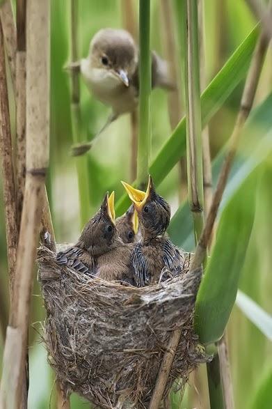 Reed-Warbler